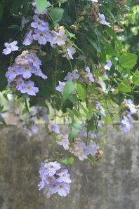 Crazy blue flower vine.  Once established, it will cover everything!